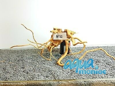 Red Moore Root size  50x20cm